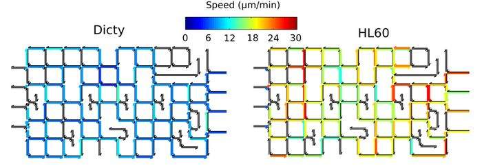 Maps showing the local average speed of cells across each edge in the maze for Dicty (left) and HL60 (right) cells. Edges traveled by less than 5 cells are excluded and shown as black.