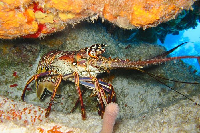 A lobster in its natural habitat.