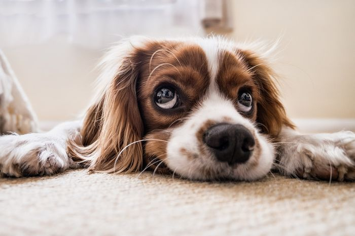 Is this dog giving its owner the puppy eyes on purpose? A new study suggests these faces can be directly linked to human attention.