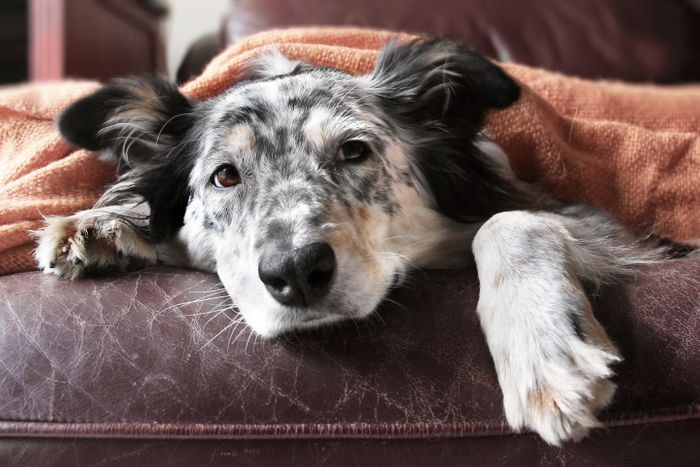 It's that dreaded time of year -- flu season. And we humans aren't the only ones feeling the pain. Dogs can get the flu, too. Scientists have developed, for the first time, two new vaccines for canine influenza. Source: University of Rochester School of Medicine and Dentistry