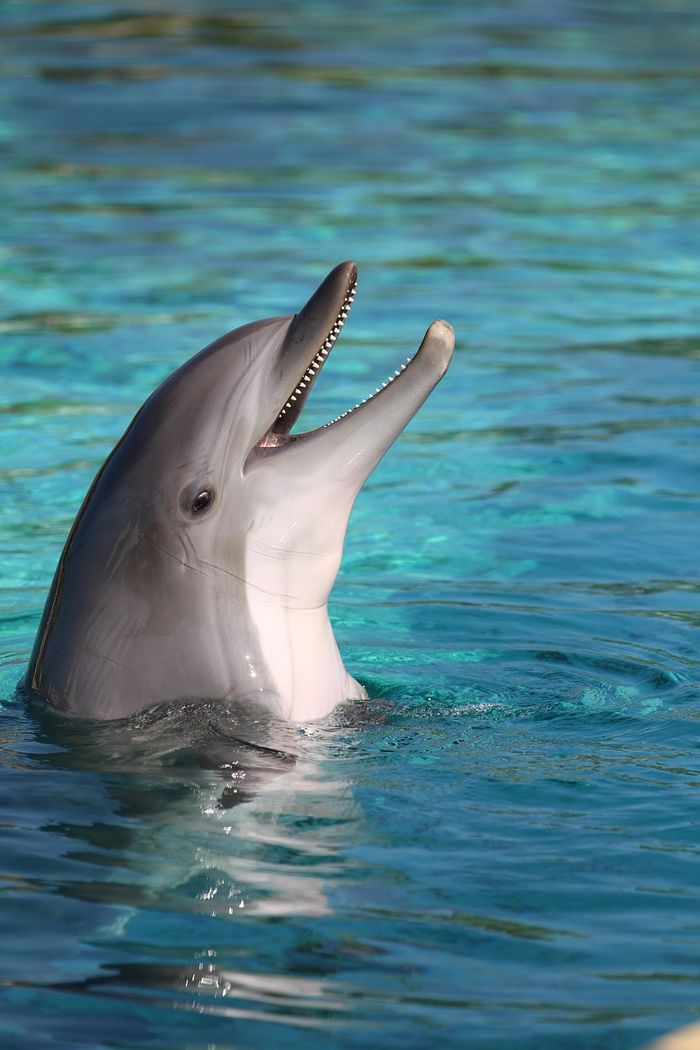 Male dolphins might be able to increase their odds of mating by presenting the female with a gift.