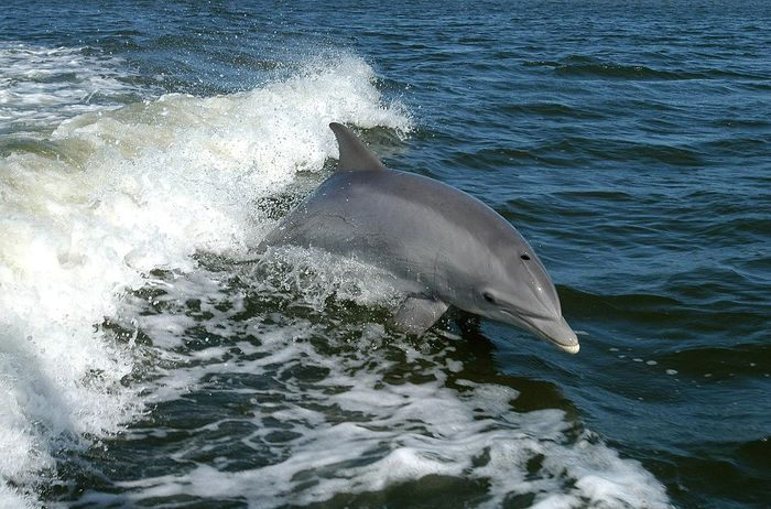 Researchers may now understand why offshore bottlenose dolphins dive so much deeper than the coastal variety.