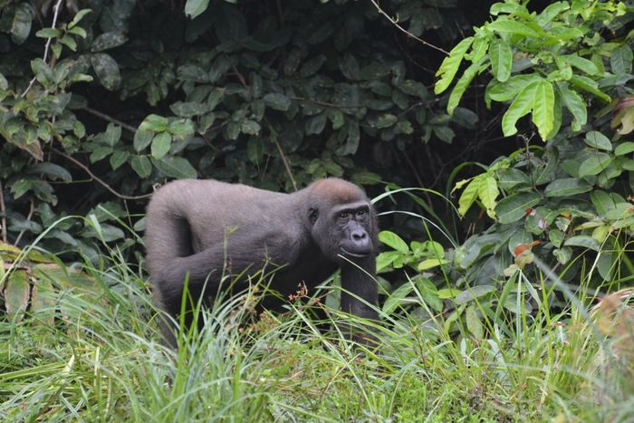Sosa, a 12-year-old blackback gorilla, has been shot and killed in protected parts of Central Africa by poachers.
