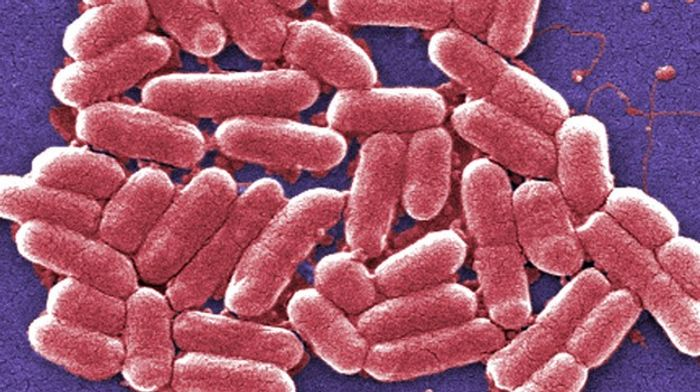Shigella infects cells in the colon.