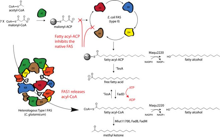 Alternative acyl-CoA production pathways / Credit: Metabolic Engineering: