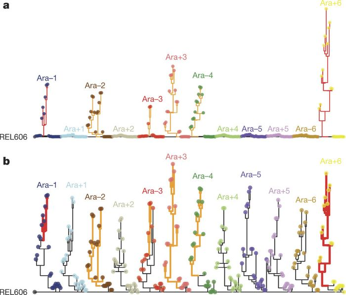 a) Phylogenies for 22 genomes from each population, based on point mutations. b) The same trees, except branches are rescaled as follows: branches for lineages with mismatch-repair defects are orange and shortened by a factor of 25; branches for mutT mutators are red and shortened by a factor of 50. Strain REL606 (on the left) is the ancestor. No early mutations are shared between any populations, confirming their independent evolution. Most populations have multiple basal lineages that reflect early diversification and extinction; some have deeply divergent lineages with sustained persistence, most notably Ara?2. / Credit: Nature Tenaillon et al