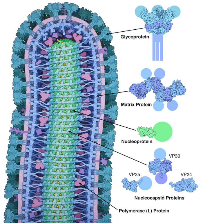 The Ebola virus, from Wikipedia Commons