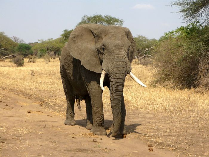 Elephants are among the animals being sent from Zimbabwe to Mozambique.