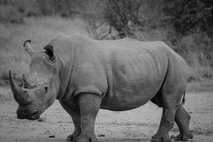 Very few rhinos actually exist in the wild, outside of protected areas.