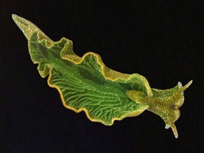 This sea slug steals chloroplasts from algae.