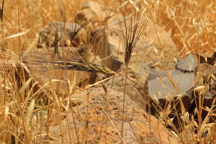 Wild Emmer wheat / Credit: © Energin .R Technologies 2009 LTD. (NRGENE)
