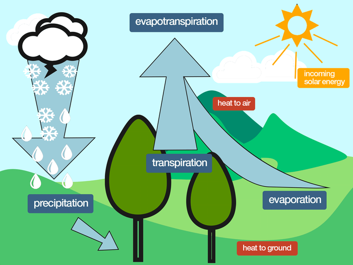 Evapotranspiration from trees may help reduce air temperatures.
