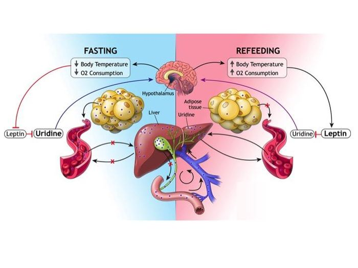How the body's fat cell-liver-uridine axis works to maintain energy balance. Credit: UT Southwestern