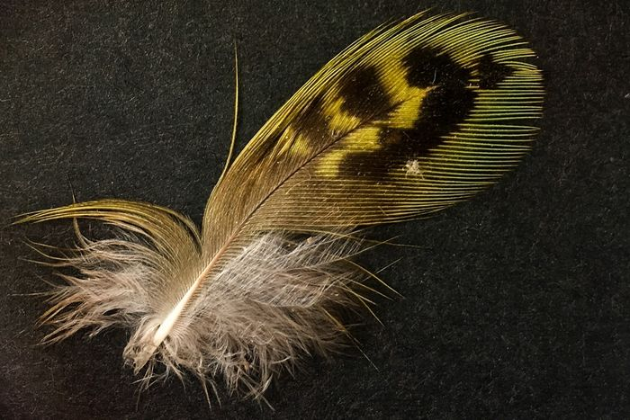 The night parrot's feather.