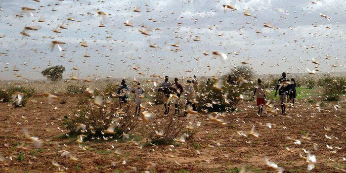 Locust outbreak in Africa (UN)