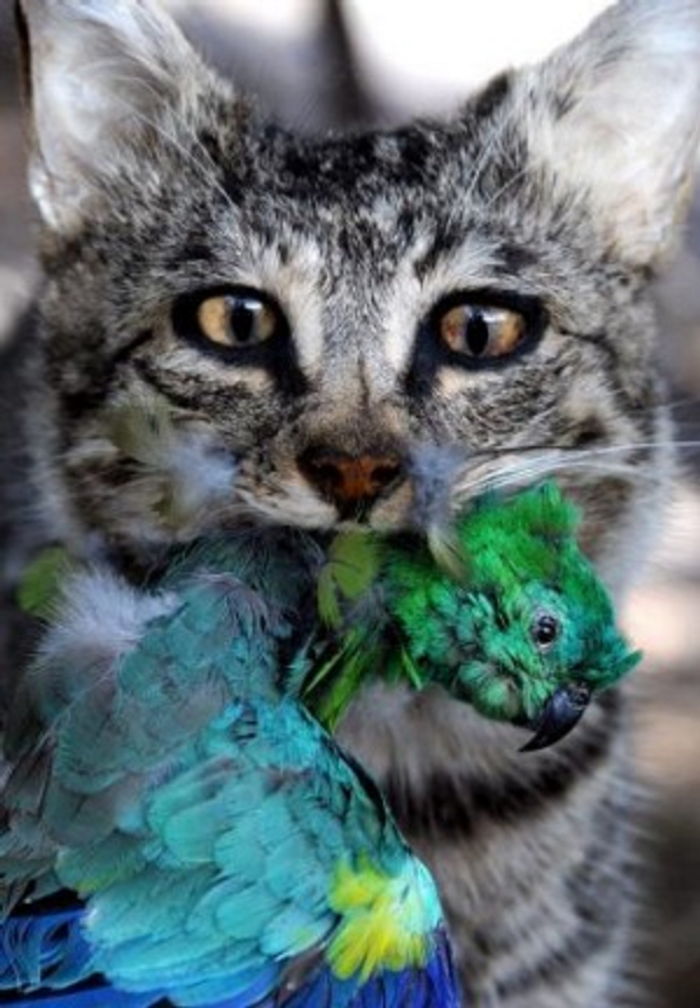 Feral cats in Australia have contributed to the decline in certain bird, mammalian and reptile species.