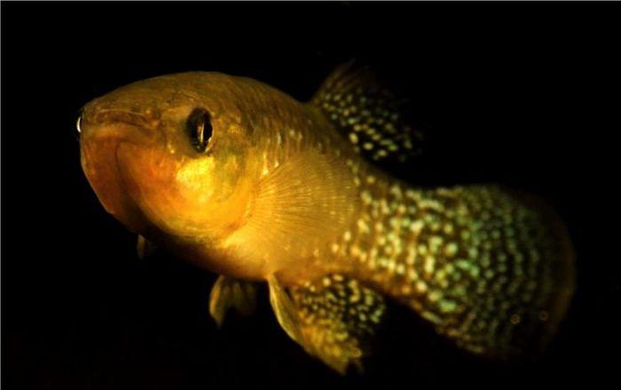 The Atlantic killifish has a high adaptation rate to toxic environments.