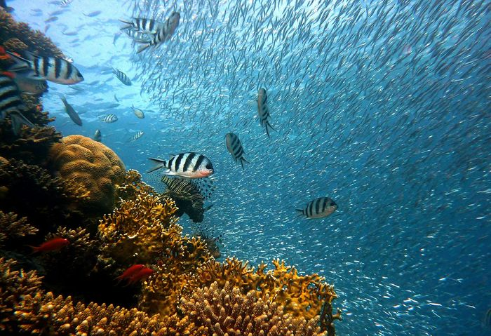A coral reef is very important to the ocean's fish, and restoration efforts might help these fish thrive.