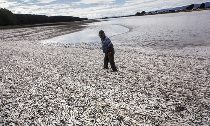 Dead fish in Temuco, Chile are a result of algal blooms. Photograph: Felix Marquez/AP