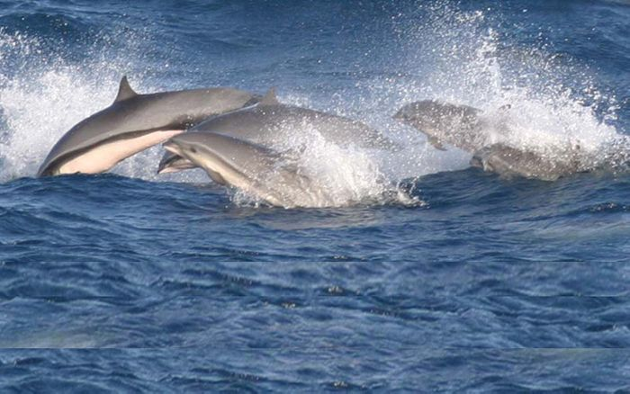 Fraser dolphins frolicking. Photo: Dolphin Facts and Information