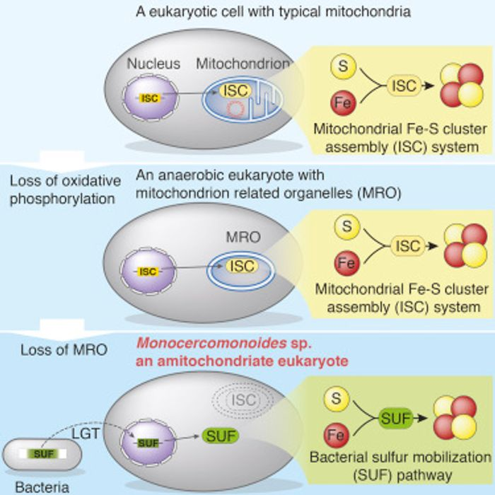 How does a cell jettison a mitochondria?