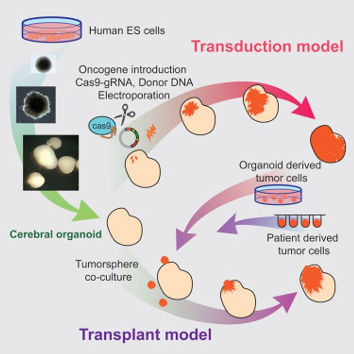 Graphical abstract Cell Reports Ogawa et al 2018