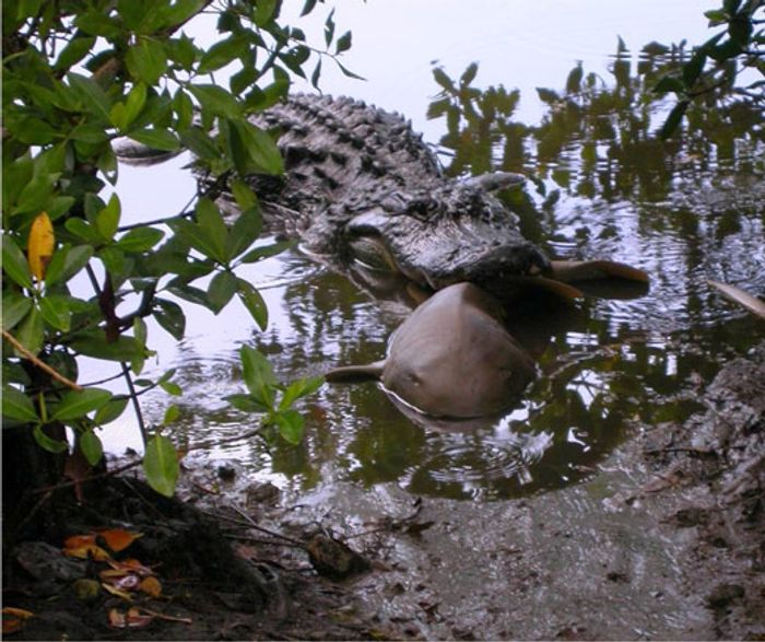 An alligator is shown with a juvenile shark in its jaws.