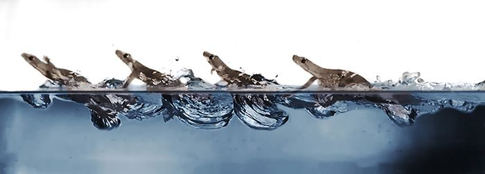 A lapsed still frame showing how the gecko runs across a body of water.