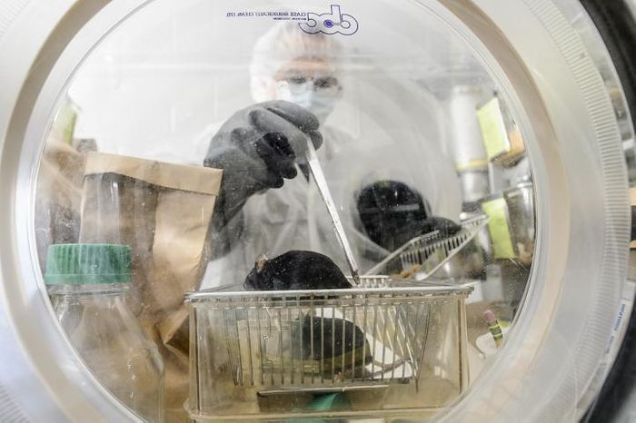 Nacho Vivas, lab manager at the Rey Lab in the Bacteriology Department at the University of Wisconsin-Madison, checks on a group of germ-free mice inside a sterile lab environment on June 22, 2015. / Credit: Bryce Richter/UW-Madison