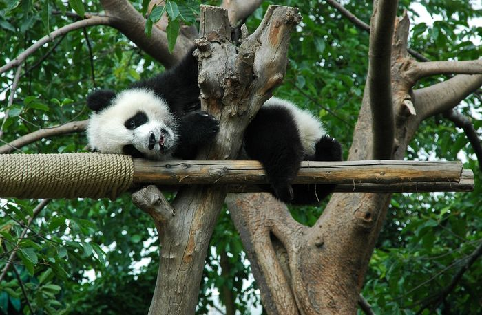 An exhausted giant panda rests in a tree.