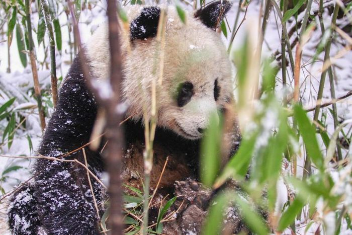 A giant panda is seen eating bamboo.