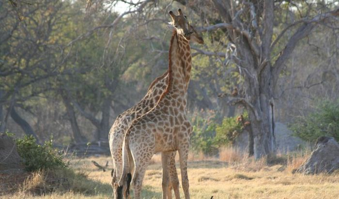 The IUCN now says that the giraffe has seen a 40% population decline over the last 30 years.