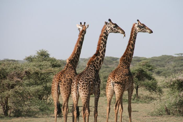 Giraffes in their natural habitat (not at the park).