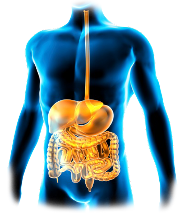 The GI tract is the pathway food takes from the mouth to the intestines where the nutrients are extracted for the needs of the body. Credit: Gastroenterology Associates of the Piedmont, PA
