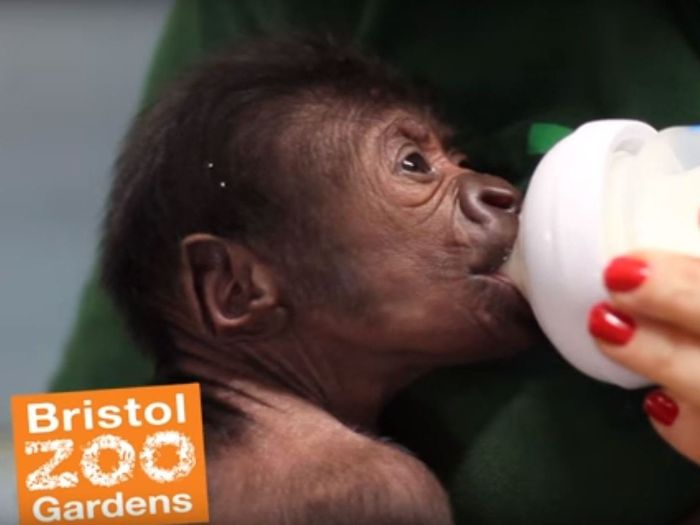 A baby Western lowland gorilla was born via C-section in Bristol Zoo this month.