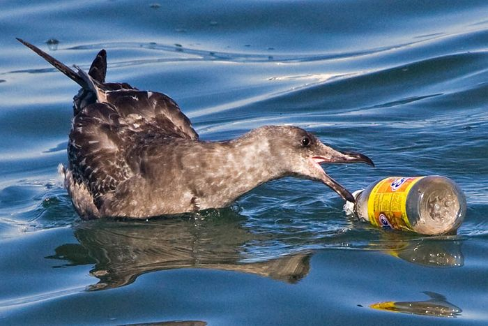 Seabirds are vulnerable to eating dangerous plastics floating in our ocean or washing up on beaches.