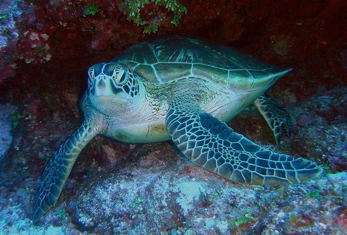 The IUCN recognizes the green sea turtle as an endangered species; unfortunately, too many females are being born.