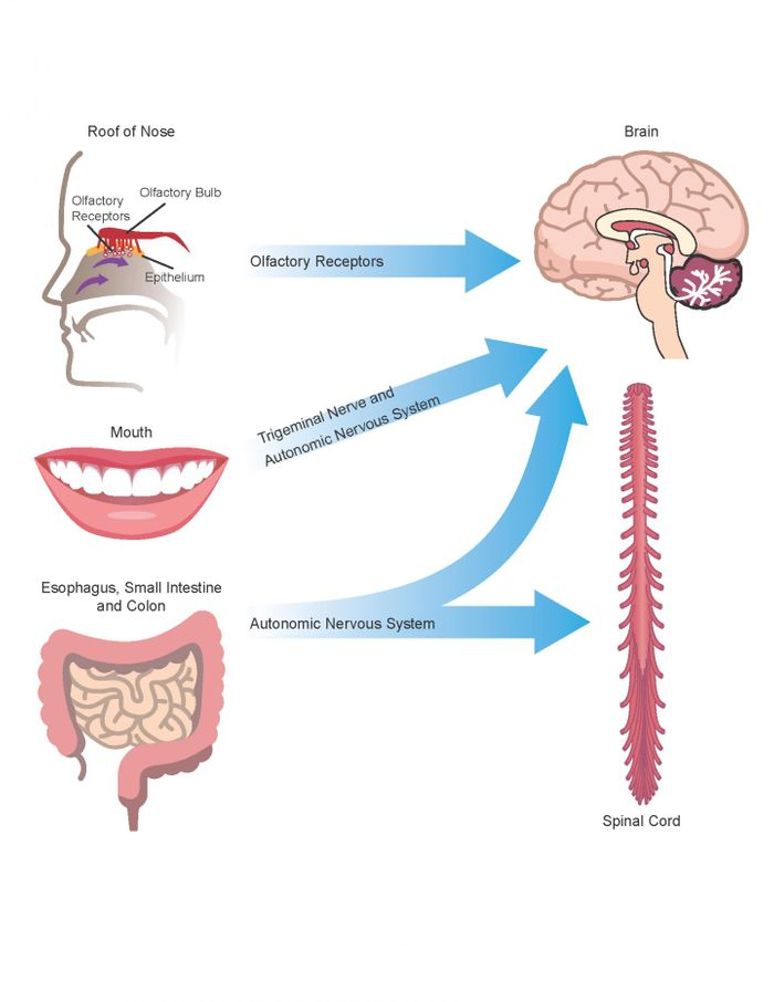 Amyloid produced by commensal bacteria may cause changes in protein folding and neuroinflammation in the central nervous system through the autonomic nervous system (particularly the vagus nerve), the trigeminal nerve in the mouth and nasopharynx, and the gut (including mouth, esophagus, stomach and intestines), as well as via the olfactory receptors in the roof of the nose. / Credit: University of Louisville