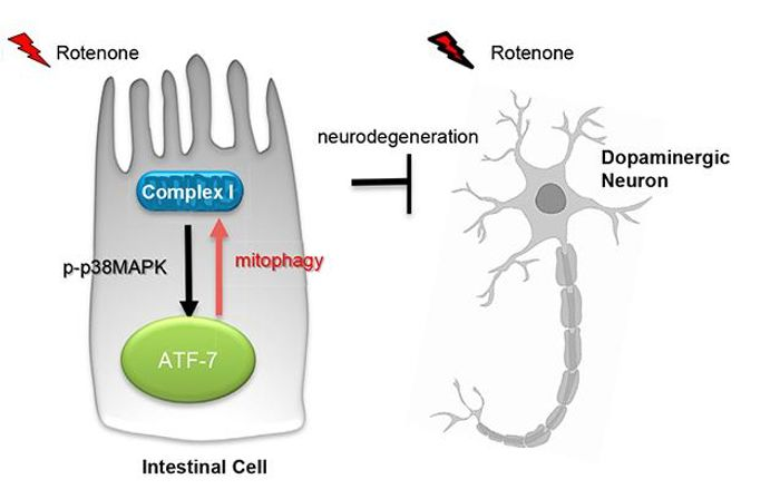 UI researchers have found the gut may be key to preventing Parkinson's disease. Intestinal cells spark an immune response that protects neurons against Parkinson's disease damage. The immune intestinal cells identify damaged machinery within neurons, discarding defective parts. That action ultimately preserves neurons whose impairment or death causes Parkinson's. CREDIT: Veena Prahlad, UI