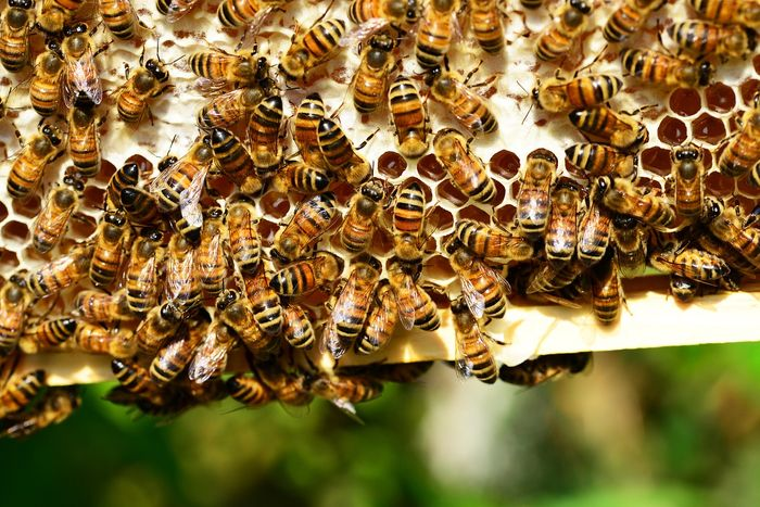 Why are larger honeybee colonies quieter than smaller ones? A new study provides some insight.