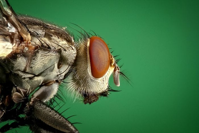 A close-up image of a common house fly.