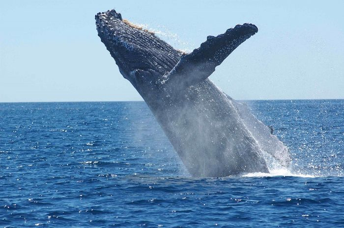 A South Atlantic humpback whale population has allegedly grown to pre-whaling numbers.