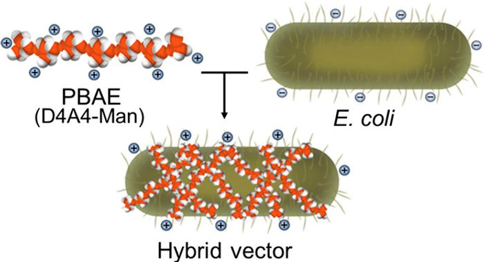 The hybrid biological-biomaterial vector - electrostatic interactions between a positively charged PBAE (D4A4-Man) and negatively charged E. coli result in the hybrid vector composed of both components contributing to the delivery of antigenic cargo within the E. coli core of vehicle. / Credit: Science Advances Li et al