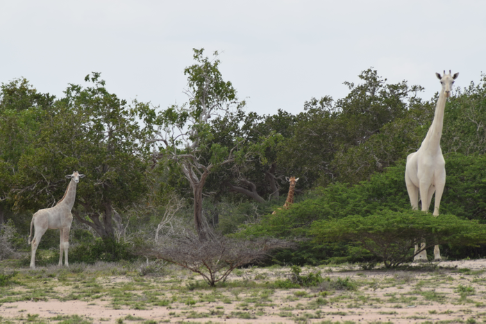 A leucistic giraffe mother walks through the woods with her leucistic calf. A regularly-colored giraffe is also present in the background for color reference.