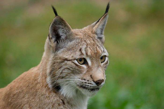New computer models show that illegal hunting may be killing off the European lynx.