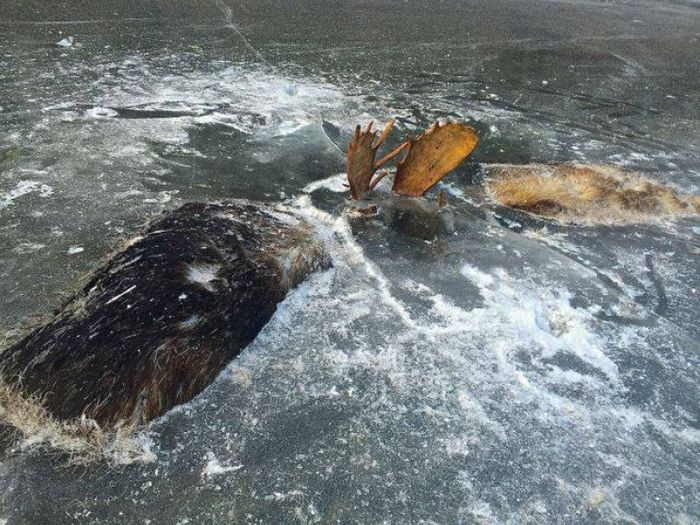 Two moose were photographed frozen in ice during what was presumeably a battle over a cow.