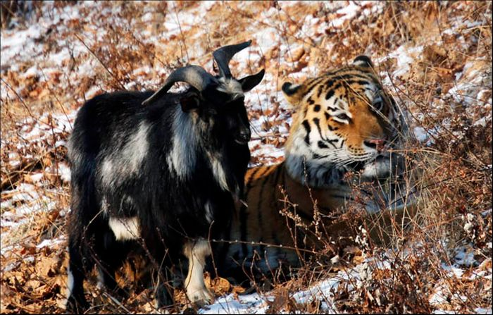 Timur stands next to his new tiger friend in the Russian Zoo.