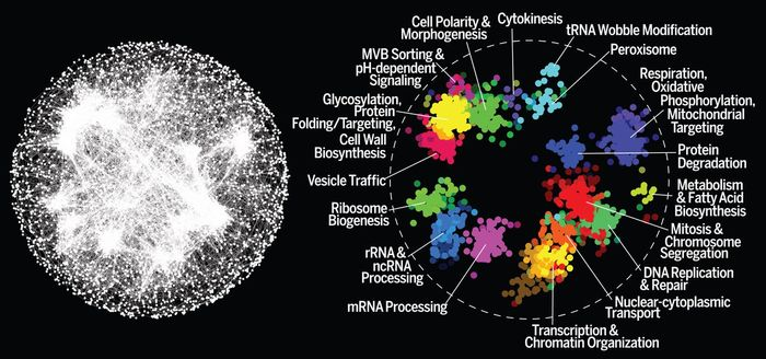 A global network of genetic interaction profile similarities. (Left) Genes with similar genetic interaction profiles are connected in a global network, such that genes exhibiting more similar profiles are located closer to each other, whereas genes with less similar profiles are positioned farther apart. (Right) Spatial analysis of functional enrichment was used to identify and color network regions enriched for similar Gene Ontology bioprocess terms. / Credit: Science Costanzo et al