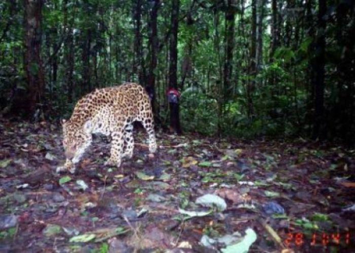 A jaguar recently captured in a camera trap in Ecuador. Photo: ScienceDaily