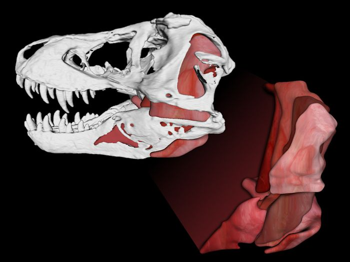 The 3-D computer model showing the T. Rex's powerful jaw muscles and skull.